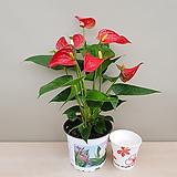 레드안시리움 Anthurium andraeaeanum