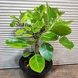 아무진뱅갈고무나무( 한목대)밥이 많아요|Ficus elastica