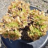 에오니움 팔천의경철화(B타입) Aeonium canariense