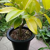 예쁜뱅갈고무나무미세먼지탁월외목가지 약 70 Ficus elastica