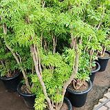 폴리시아스나무-공기정화,새집증후군에 탁월함150 