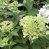 목수국|Hydrangea macrophylla