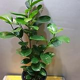 프랑스고무나무(수입식물)재입고  생명력 있고 잎이 둥글러서 안정감이 있지요|Ficus elastica