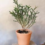 초연초 토분세트+분갈이서비스(예쁜 솔잎과 잘묵은 목대)약25~30cm 