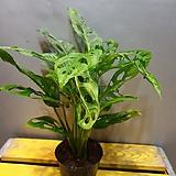 오블리쿠리아(대품) 수입식물 아주건강한아이에요|