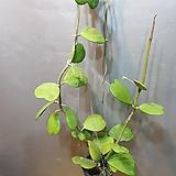 청하트호야(대품) 수입식물 하트가 주렁주렁달려있네요|Hoya carnosa