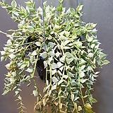 밀런하트(칼라)걸이( 수입식물) 잎들이  작은하트로 되어있네요|