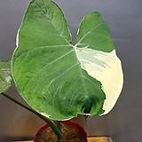 산토소마(수입식물) 동일상품|