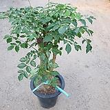 해피트리(행복수)공기정화식물 소품