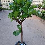떡갈나무(한목대)대품 핫도그모양으로된 멋스러운 아이에요 높이(100-110)