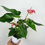 안스리움 / 안시리움 / 분홍 / 초특가 / 한빛농원|Anthurium andraeaeanum