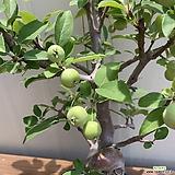 노랑 사과 (황실해당)|