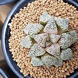 하워르티아 일반종 픽타 씨앗(10립) (HS015)|Haworthia picta