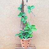 [진아플라워]  튼실한 토분 호야 걸이형 260 Hoya carnosa