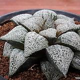 하워르티아 일반종 픽타 씨앗(설야원 픽타 씨앗 10립) (HS040)|Haworthia picta