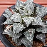 하워르티아 일반종 피그마에아 씨앗(화원 씨앗 10립) (HS042|Haworthia pygmaea
