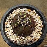 오베사 Baseball Plant (Euphorbia obesa)