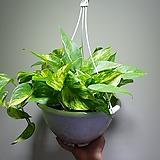 골드마블스킨걸이 대품 공기정화식물 405012970 
