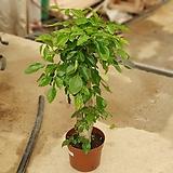 녹보수 몸통아리 공기정화식물 608017910 happy tree