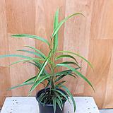 휘커스 고무나무|Ficus elastica