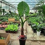 알록카시아/Alocasia/공기정화식물/새집증후근/높이120센치