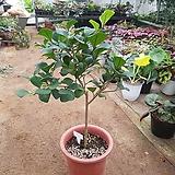 하트외목고무나무#13|Ficus elastica