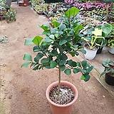 하트고무나무외목대#11|Ficus elastica