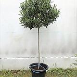 올리브나무(토피어리)|