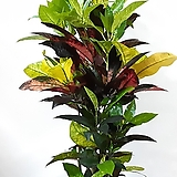 공기정화식물~수채화 클로톤 