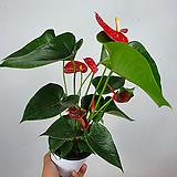 안스리움 / 안시리움 / 빨강 / 초특가 /한빛농원|Anthurium andraeaeanum
