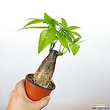 뚱뚱이파키라 / 파키라 / 공기정화식물 / 미세먼지제거식물 /한빛농원|