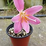 귀생꽃( 노지월동가능) 분홍색꽃이  예쁘게 피네요|