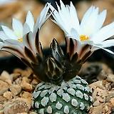 발데지아나수입씨앗 5립(흰꽃)독일|