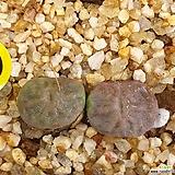 코노피튬 엔겔리케 군생|Conophytum