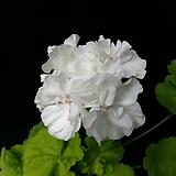 브룩사이드베티+꽃사진첨부(제라늄2개)|Geranium/Pelargonium
