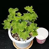 리틀란다(제라늄)|Geranium/Pelargonium