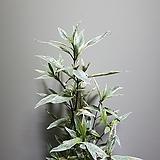 저스티시아 수입식물 공기정화식물 406015980 