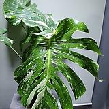 무늬몬스테라델리시오사 대품 공기정화식물 단품 2번 
