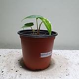 알로카시아 모로코 수입식물 반려식물 15209950 Alocasia