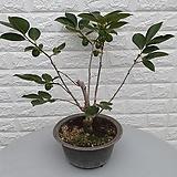♥감나무 ♥마디 감나무|