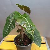 산데리아나알로카시아(수입식물) 동일상품으로배송해요|Alocasia