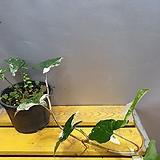 신무늬(수입식물) 동일상품으로 배송해요 ( 늘어진아이에요) 한정판|