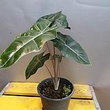 산데리아나알로카시아(수입식물) 동일상품으로 배송해요|Alocasia