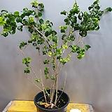 바로크벤자민(수입식물) 동일상품배송해요(새로운 잎이돋아나요)|