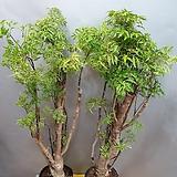 폴리(중품)  잎이 특이하고  고급진아이에요( 따뜻한곳을 좋아해요)|
