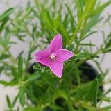 사상크로스/크로웨아(현재 꽃대가 많이 물려있습니다~)|