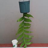 크리소카디움.흰색꽃.걸이.공중식물.인테리어효과.공기정화식물.카페에 연출.베란다연출.북유럽스타일.MD추천.|