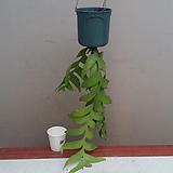 크리소카디움.3촉.흰색꽃.걸이.공중식물.인테리어효과.공기정화식물.카페에 연출.베란다연출.북유럽스타일.MD추천.|