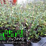 커먼 타임(Common Thyme) 허브모종 700원(단품목 5000원 이상배송가능)|Hub