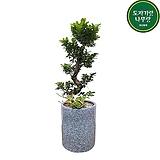 가지마루 거실화분 중대형 인테리어식물 개업축하화분 DLP-316|